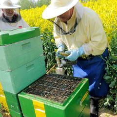 Geöffneter Bienenstock - Arbeit von Imkern zwischen blühendem Raps auf einem Feld in der Gemeinde Seestermühe.