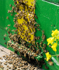Einflugsöffnung eines Bienenstocks dicht besetzt mit Bienen.