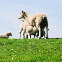 Mutterschaf mit Lamm / Osterlamm - Schafe auf dem Deich an der Haseldorfer Binnenelbe.