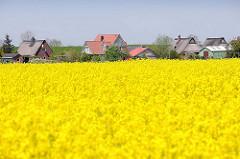 Einzelhäuser, Wohnhäuser am Deich in Neuendorf - blühendes Rapsfeld im Frühling.