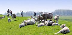 Spaziergänger und Schafe auf dem Elbdeich an der Haseldorfer Binnenelbe; die Schafe liegen mit ihren Lämmern in der Sonne.