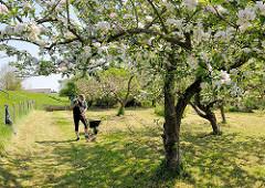 Apfelbäume in Blüte - Sonne im Frühling; ein Gärtner harkt auf der Wiese mit einer Harke Heu zusammen.