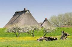 Bauernhäuser mit Reetdach / Strohdach hinter dem Deich in Haseldorf - blühende Apfelbäume, gelbe Löwenzahnwiese.