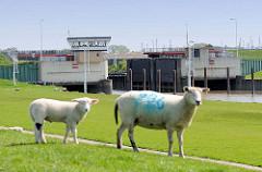Sperrwerk der Krückau - Schafe auf dem Elbdeich in Neuendorf.
