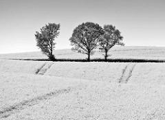 Schwarz Weiss Foto - Hügellandschaft mit Bäumen im blühendem Rapsfeld.