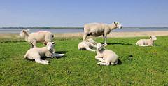 Schaf mit Lämmer auf dem Deich an der Haseldorfer Binnenelbe / Naturschutzgebiet.
