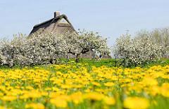 Wiese mit blühendem Löwenzahn - Apfelbäume in Blüte; Giebel / Dach von einem Reetdachhaus in Haseldorf.