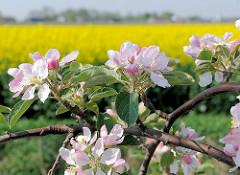 Blüten blühender Apfelbäume - Apfelblüten; im Hintergrund ein gelbes Rapsfeld / Rapsblüte im Frühling.