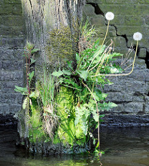 Reste eines Holzdalbens mit Gras und Löwenzahn bewachsen - Riss in der Kaimauer; Relikte / Überbleibsel vom alten Hamburger Hafen.