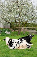 Wiese mit zwei Holsteiner Kühen - Apfelbaum in Blüte; Bilder aus Kollmar, Kreis Steinburg.