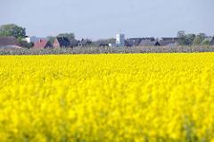 Gelb blühendes Rapsfeld in Haseldorf - im Hintergrund Häuser des Dorfes.
