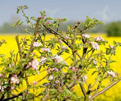 Blühender Apfelbaum - Apfelblüte in Seestermühe; im Hintergrund ein blühendes Rapsfeld.