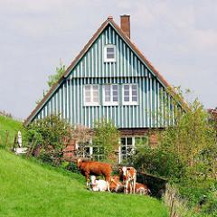 Kuhherde vor einem Haus am Deich in Seestermühe.