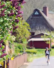 Blühender Flieder an der Strasse - Reetdachhaus und Radfahrer in Haselau.