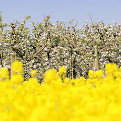 Rapsblüte im Frühling - Feld in Haseldorf; im Hintergrund blühende Obstbäume / Apfelbäume.