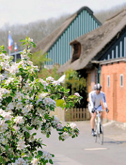 Apfelbaum in voller Blüte an der Strasse in Haselau in der Haseldorfer Marsch - Reetdachhäuser - Rennradfahrer mit Helm auf der Strasse.