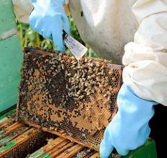 Honigwabe mit Bienen - Arbeite eines Imkers auf einem Rapsfeld in Seestermühe.
