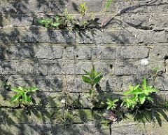 Wildkraut in einer Mauerritze einer Kaimauer im Hamburger Hafen.