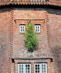 Haseldorfer Mühle - Mühlenstumpf der Deichmühle, neuerbaut ca. 1846 - jetzt leerstehendes Wohngebäude. Eine junge Birke wächst aus dem Mauerwerk.