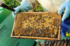 Honigwabe mit Bienen - Arbeit eines Imkers auf einem Rapsfeld zur Rapsblüte in Seestermühe.