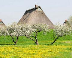 Wiese mit gelb blühendem Löwenzahn - Apfelbäume in Blüte - Reetdachhäuser hinter dem Deich in Haseldorf.