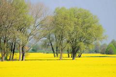 Meer von blühendem Raps im Frühling - Bäume mit frischem Frühlingsgrün in der Gemeinde Seestermühe.