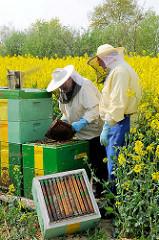 Der Imker zieht eine Honigwabe aus dem Bienenstock - Rapsfeld in Seestermühe.