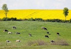 Auf einer Weide grasende Holsteinische Kühe - blühendes Rapsfeld bei Plön.