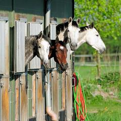 Pferde stecken ihre Köpfe aus einer Stallung in Haselau, Kreis Pinneberg.