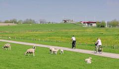 Fahrradweg am Elbdeich in der Haseldorfer Marsch - Schafe und Lämmer auf der Wiese; im Hintergrund das Pinnau-Sperrwerk.