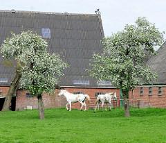 Blühende Birnbäume auf einer Weide - zwei Pferde / Schimmel laufen im Gras - Stallungen eines Bauernhofs in Kollmar.