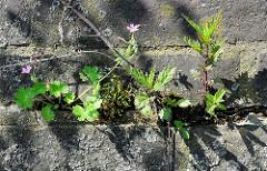 Blühendes Wildkraut in einer Mauerritze einer Kaimauer im Hamburger Hafen.