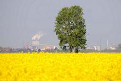 Blühendes Rapsfeld - Rapsblüte im Frühling in der Haseldorfer Marsch - im Hintergrund Industrieanlagen in Bützfleet / Stade auf der anderen Seite der Elbe.