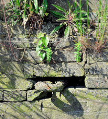 Alte Kaimauer im Hamburger Hafen; eingelassener Eisenring zum Vertäuen von Schiffen. Im Ziegelmauerwerk wächst aus den Mauerfugen Wildkraut / Gräser.