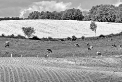 Schwarz-Weiss Aufnahme - hügelige Landschaft in der Holsteinischen Schweiz bei Plön. Wiese mit Kühen - gepflügter Acker, blühendes Rapsfeld - Hügellandschaft mit Knick und Bäumen.