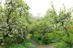 Obstgarten der Schlossgärtnerei  in Plön, blühende Apfelbäume.
