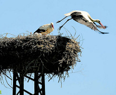 Storchennest am Ufer der Havel in der Hansestadt Havelberg - ein Storch hebt ab.