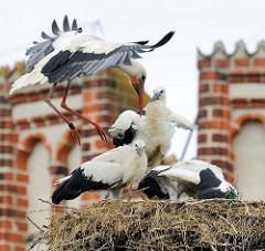 Jungstörche im Nest - Hansestadt Werben. EIn Elternteil ist zur Fütterung der jungen Störche im Landeanflug - der Storch trägt einen breiten Ring / Beringung.