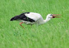 Storch in den Elbwiesen bei Werben.