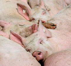 Schlafende Schweine auf dem Biohof Wulksfelde in Hamburg Duvenstedt / Tangstedt.