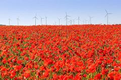 Mohnblüte bei Havelberg / im Hintergrund Windräder, Windkraftanlagen.