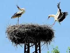Storchennest am Ufer der Havel in der Hansestadt Havelberg - ein Storch landet am Nestrand und wird vom anderen begrüsst.