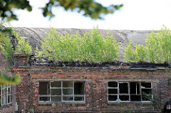 Industrieruine auf dem Gelände der ehem. Ölmühle in Wittenberg - junge Birken wachsen auf dem Dach vom Backsteingebäude.