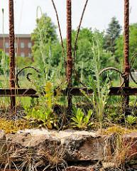 Rostiger Metallzaun - Wildkraut wächst auf einer alten Mauer; Fotos aus der Hansestadt Seehausen.