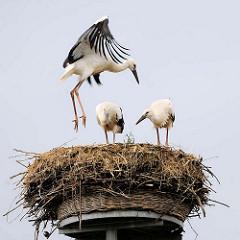 Jungstörche im Nest - Hansestadt Werben.