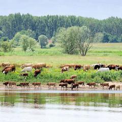 Eine Kuhherde grast auf einer Weide am Ufer der Elbe in Wittenberge.