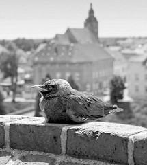 Junge Krähe auf einer Mauer beim Havelberger Dom - im Hintergrund der Kirchturm der St. Laurentiuskirche.