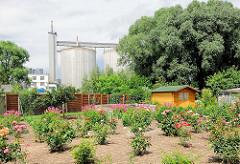 Kleingarten; Gartenfläche mit Rosen und Holzhaus; im Hintergrund Silos der Stärkefarbrik in Kyritz.