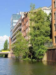 Birken wachsen aus einem Ruinengrundstück am Südkanal im Hamburg Hammerbrook.
