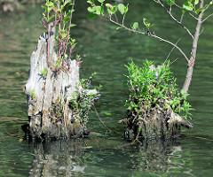 Alte Holzpfähle im Wasser des Billekanals mit Grünpflanzen und jungen Bäumen bewachsen - Fotos aus Hamburg Rothenburgsort.